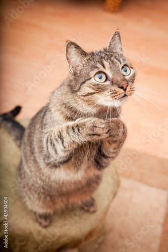 Funny european cat asking for food