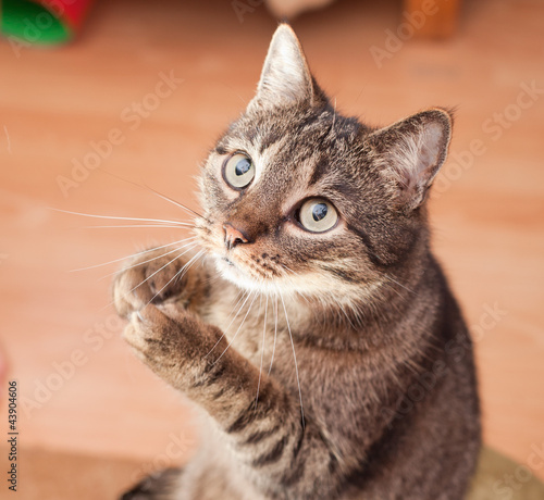 Papiers peints Porter Young european cat asking for food