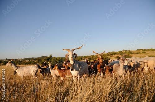 Papiers peints Sheep Chèvres du Rove