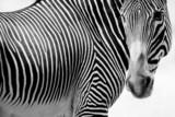 Fototapeta koń - zwierzę - Dziki Ssak