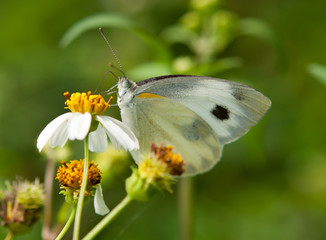 pieris butterfly