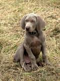 Weimaraner Short-haired dog poster