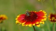 Kokardenblume vid 01 orig