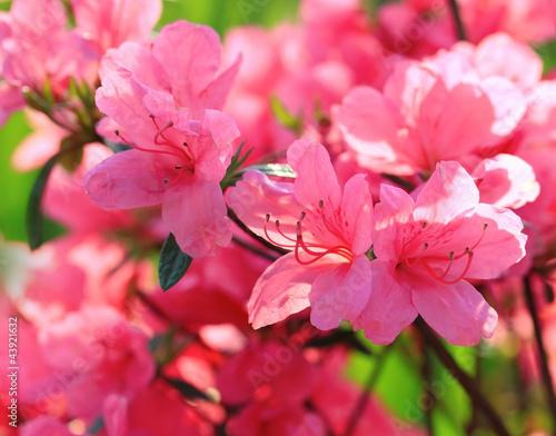 Spoed canvasdoek 2cm dik Azalea Rhododendron