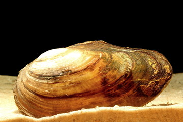 swan mussel (Anodonta cygnea) in sand over black