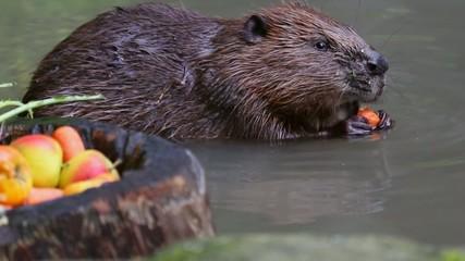 Castoro - Beaver - Castor Fiber earting a carrot