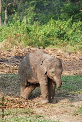 Baby elephant in Chitwan national park