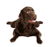Chocolate labrador dog in studio on white background