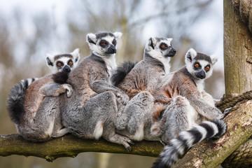Lemur family