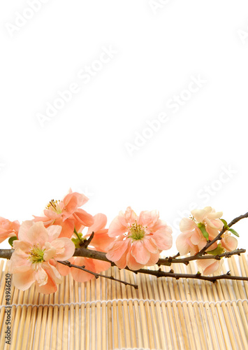 Spring flowering quince on bamboo stick straw mat