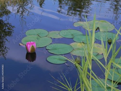 lilia wodna - 43939083