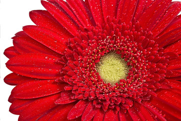 red gerbera on white