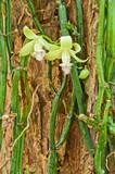 Fototapety Vanilla aphylla Rolfe