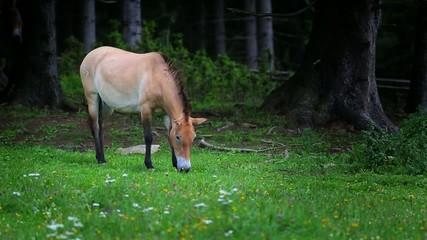 Cavallo selvatico - Equus ferus przewalskii - Spirit
