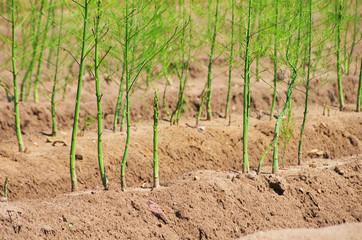 Spargelfeld - asparagus field 28