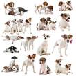 jack russel terrier