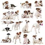 jack russel terrier - 43955068