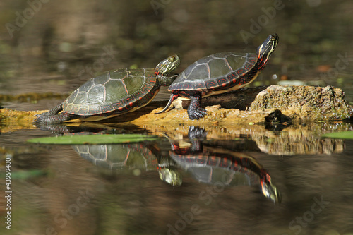 Two Painted Turtles Basking on a Log with Reflection on Water