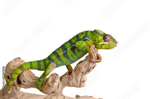 Staande foto Kameleon Colorful chameleon