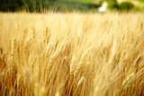 Fototapety Yellow grain ready for harvest growing in a Tuscany  farm field
