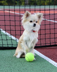 chihuahua with tennis ball in a tennis court