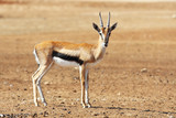 A graceful  Thomson Gazelle