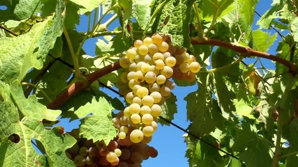Grappolo di uva bianca - Trebbiano - White Grapes