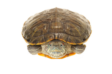Front View Of A Terrapin