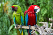 Постер, плакат: Couple of Green Winged and Great Green macaws in the nature