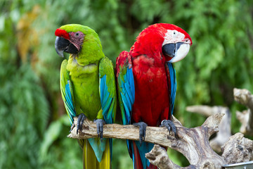 Couple of Green-Winged and Great Green macaws in the nature