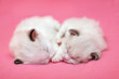 two sleeping ragdoll kitties on furry pink background