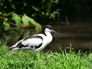 piet avocet bird