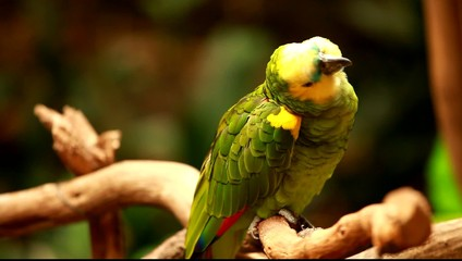 Green parrot in blured background