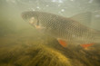 Underwater photo of freshwater chub