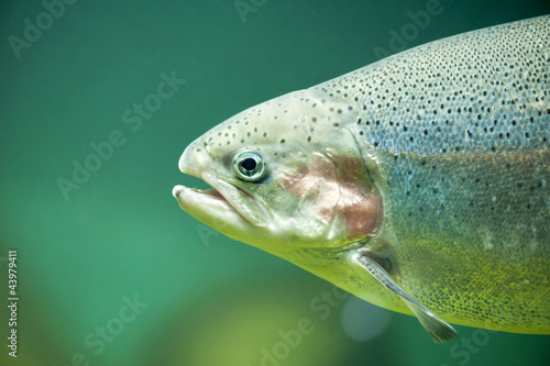 Rainbow trout or Salmon trout (Oncorhynchus mykiss) close-up