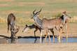 Kudu antelopes at a waterhole, Kalahari desert,
