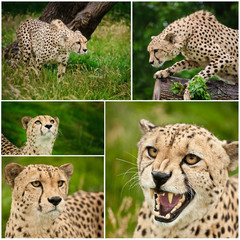 Compilation of images of Cheetah Acinonyx Jubatus big cat