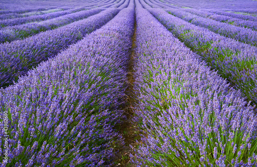 Beautiful lavender field landscape with dramatic sky - 43982690