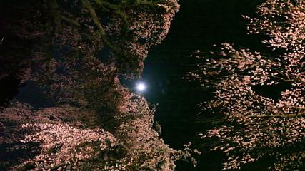 ライトアップのサクラと満月