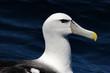 Portrait of a Shy Albatross (Diomedea epomophora).