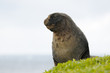 New Zealand Sea Lion bull.