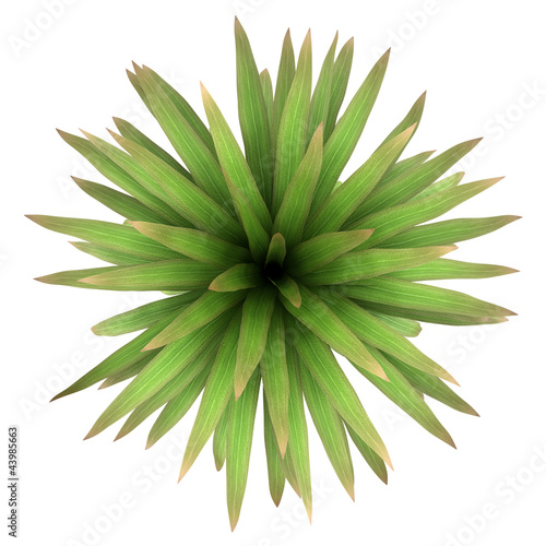 top view of mountain cabbage palm tree isolated on white