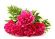 beautiful pink peonies isolated on white