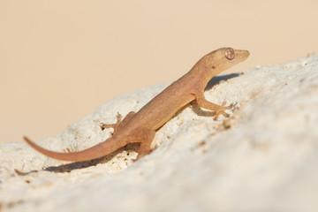cute small lizard on rock