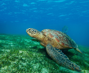enormous sea turtle in gulf