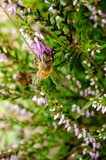 heather with busy honeybee