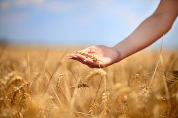 Female  hand stroking the stems of wheat