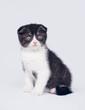 Bicolor scottish fold kitten on white background