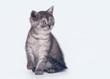 black smoke scottish straight kitten on white background