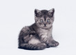 black smoke scottish straight kitten on white background